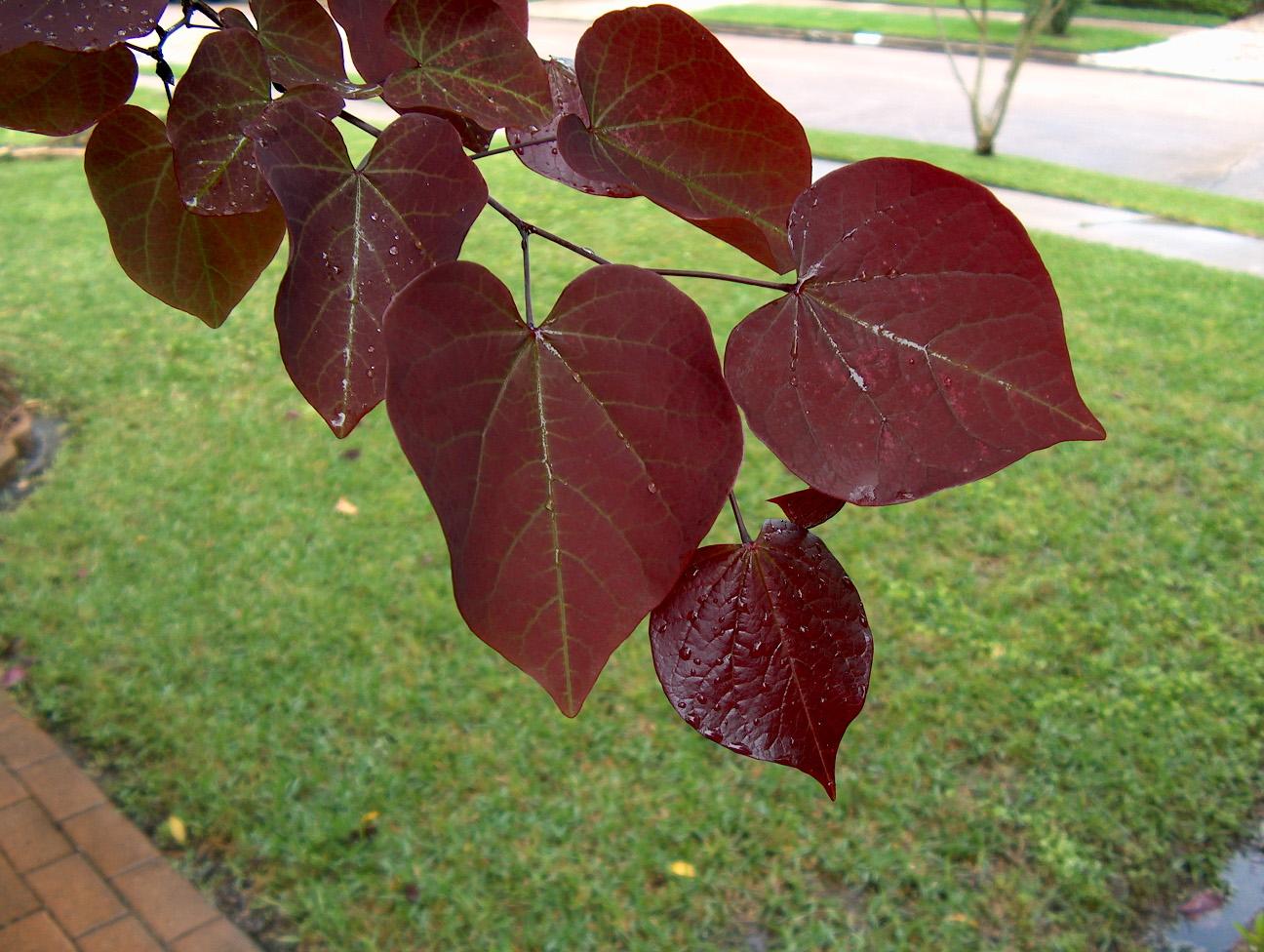 Cercis Forest Pansy Leaf onlineplantguide